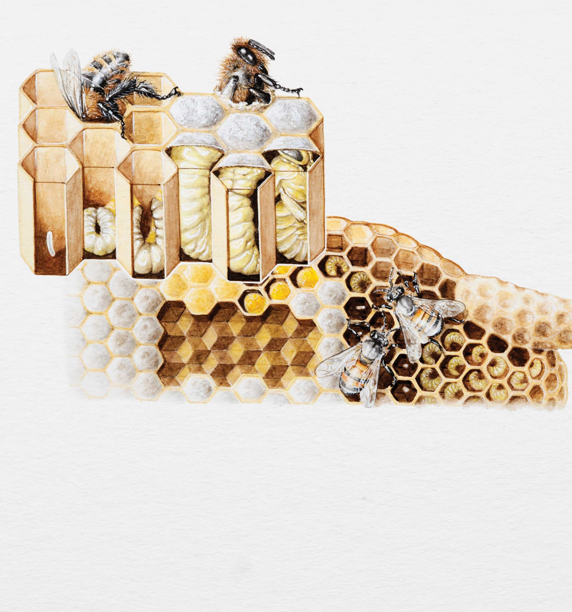 Bees Lifecycle