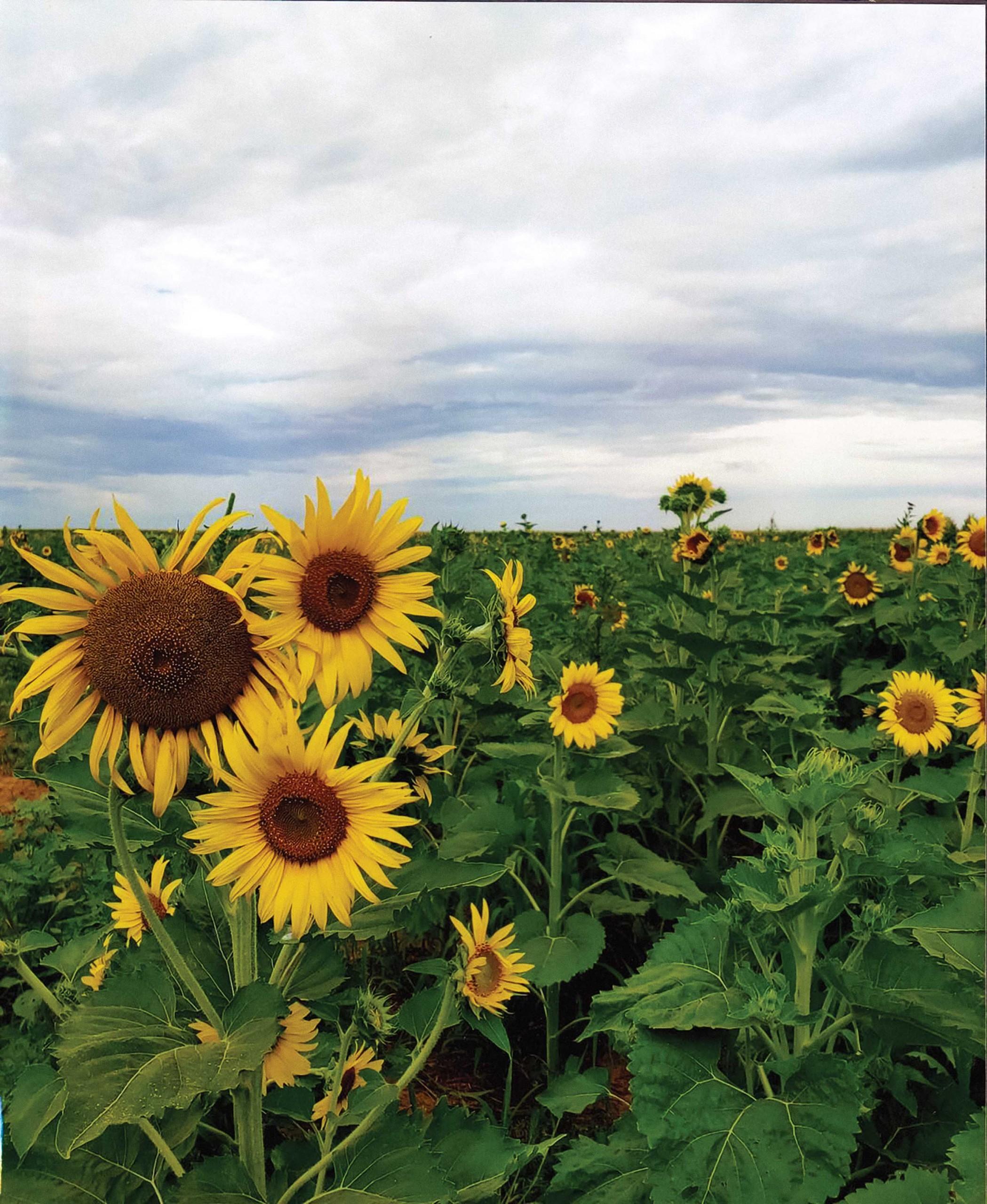 Byways Sunflower